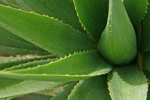 pflanze-aloe-vera